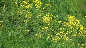 Le vent bruit les fleurs jaunes sur un pré vert Images libres de droits