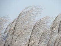 Le vent jette la canne en l'air contre le ciel Images libres de droits
