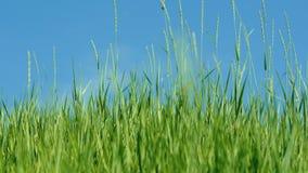 Le vent secoue l'herbe verte contre le ciel bleu 4K banque de vidéos