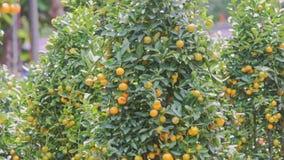 Le vent secoue les branches d'arbre vertes de mandarine avec les fruits mûrs banque de vidéos