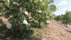 Le vent secoue les branches de la cendre de montagne avec les fleurs blanches banque de vidéos
