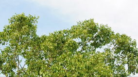 Le vent a soufflé un grand arbre de Bodhi banque de vidéos