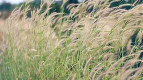 Le vent souffle admirablement L'herbe a frappé le vent banque de vidéos
