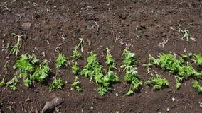 Le vent souffle les particules parties du sol fertile plantées avec le gisement de pomme de terre banque de vidéos
