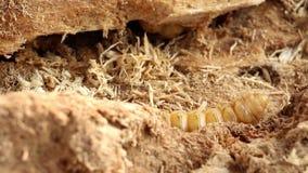 Le ver de scarabée du scarabée de scarabée est parasite d'insecte dangereux avec le foreur de manguier Rufomaculata de Batocera p banque de vidéos