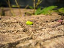 Le ver vert Image libre de droits