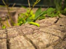 Le ver vert Photo libre de droits