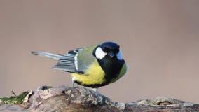 Le verdier européen, chloris de Chloris, mange des graines et des écrous sur le conducteur d'oiseau d'hiver femelle banque de vidéos