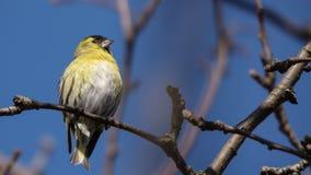 Le verdier ?tait perch? sur une branche sur un fond clair de ciel bleu et regarder vers la droite image libre de droits