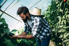 Le verdure maschii di raccolto dell'agricoltore dalla sua serra fanno il giardinaggio Immagini Stock Libere da Diritti