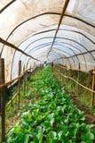 Le verdure organiche, coltivano la rete delle verdure, verdure in reticolato coperto Fotografie Stock Libere da Diritti