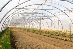 Le verdure sporcano in una serra pronta ad essere cucito Fotografie Stock