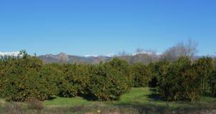Le verger d'arbre orange avec la neige a couvert des montagnes sur le fond banque de vidéos