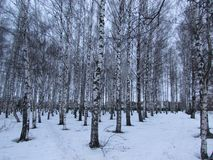 Le verger de bouleau en hiver photographie stock libre de droits
