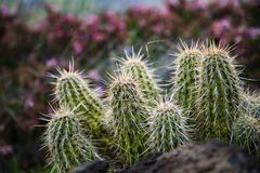 Le verger de cactus en Arizona images libres de droits