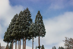 Le verger de la neige a couvert des arbres dans Sierra Nevada Images stock