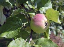 Le verger juteux naturel de jardinage de jardin de fruits de nourriture de vert de fruit de pommier d'automne de branche mûre org images stock