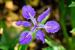 le verre souillé aiment l'iris pourpre images libres de droits