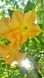 Le versicolorde Brugmansiaest un plantd'ofd'espècesdans des trompettesd'angel'sde Solanaceaede thephotographie stock libre de droits