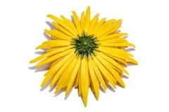 Le verso d'une fleur jaune de chrysanthème Photographie stock libre de droits