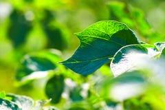 Le vert abstrait laisse le fond Photos libres de droits