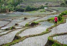 Le vert contraste le t-shirit brillamment coloré d'un homme marchant les terrasses de riz, Flores, Indonésie Image libre de droits