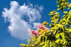Le vert d'Inthanin part, les fleurs et les nuages roses de ciel Image stock