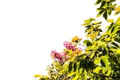 Le vert d'Inthanin part, les fleurs roses que les feuilles de vert ont isolé le fond blanc Photographie stock
