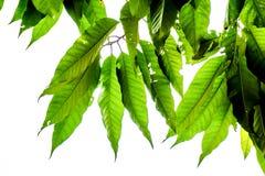 Le vert d'isolement laisse avec clairement le squelette de veine de l'des feuilles sur le fond blanc photographie stock libre de droits