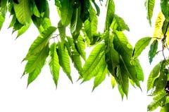 Le vert d'isolement laisse avec clairement le squelette de veine de l'des feuilles sur le fond blanc images stock