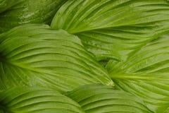 Le vert d'usine de Hosta laisse la texture de fond photos libres de droits