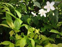 Le vert de fleurs blanches laisse seul Image stock