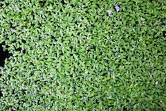 Le vert de la laitue d'eau en plan rapproché pour le fond image libre de droits