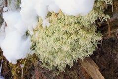 Le vert de mousse léger a couvert le plan rapproché de neige photos libres de droits