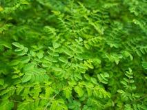 Le vert de raifort laisse l'arbre Photo stock