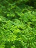 Le vert de raifort laisse l'arbre Photographie stock
