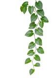 Le vert en forme de coeur laisse la vigne de jungle d'isolement sur le backgrou blanc Photographie stock libre de droits
