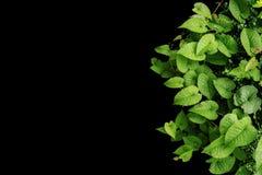 Le vert en forme de coeur laisse les vignes sauvages, usines tropicales de forêt dessus Images libres de droits