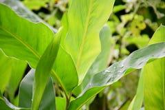 Le vert frais des feuilles semblent bon Photographie stock