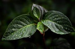 Le vert frais laisse l'élevage au printemps avec des baisses de pluie Image stock