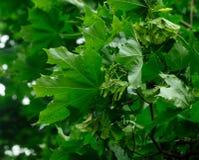 le vert frais laisse l'érable Photographie stock