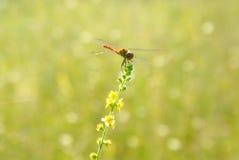 Le vert jaune a brouillé le fond du pré avec une libellule - 2 Photographie stock