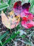 Le vert jaune rouge de chute laisse le changement de couleur de feuille Photo libre de droits