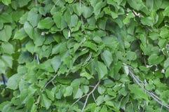 Le vert laisse à abrégé sur arbre d'été le fond botanique de forêt Photos stock