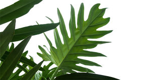 Le vert laisse à cadre de philodendron de Monstera le feuillage tropical Photo libre de droits