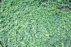 Le vert laisse des milieux de nature, petites feuilles de vert de nature rondes Photo stock