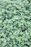 Le vert laisse des milieux de nature, petites feuilles de vert de nature rondes Images libres de droits