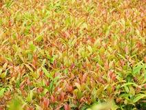 Le vert laisse le fond, Australien Rose Apple, cerise de brosse, Cr image stock