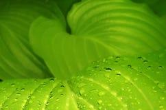 Le vert laisse le hosta avec des baisses de rosée image photographie stock libre de droits