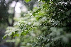 Le vert laisse l'élevage dans l'heure d'été pendant la pluie Photos stock